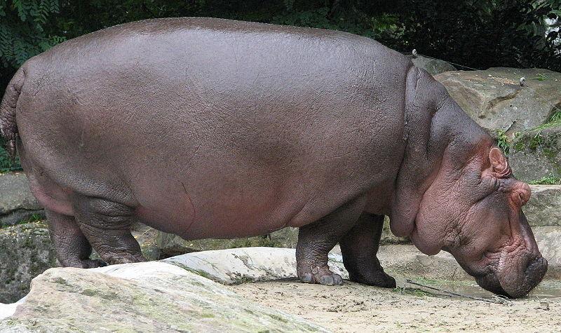 800px-Nijlpaard